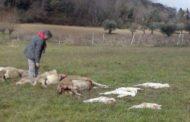 Nuovo assalto dei lupi selvaggi:strage di pecore a Montegiorgio