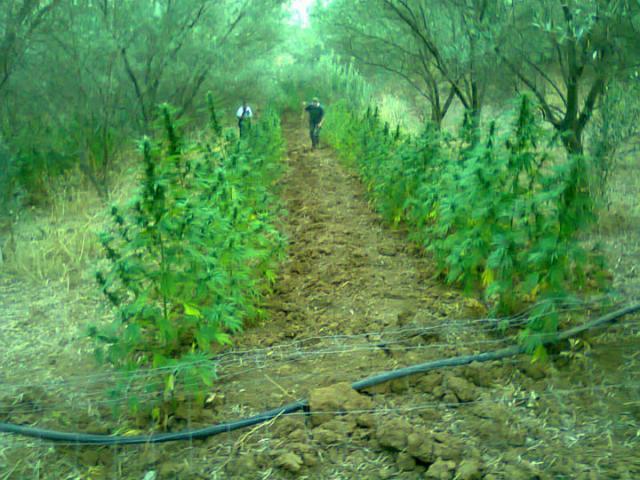 La GDF ha scoperto e sequestrata una serra di marijuana: un giovane arrestato