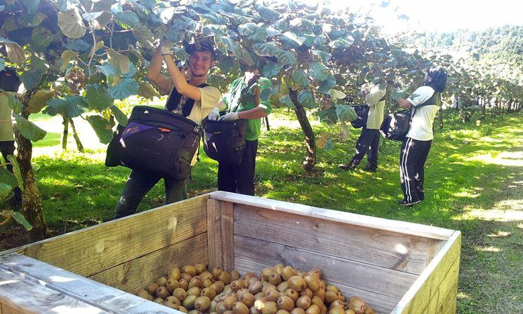 Marche&Agricoltura.CIA: raccolta del kiwi ridotta di due terzi