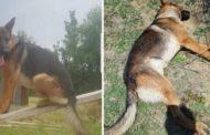 Hanno ucciso Kaos, il cane eroe del terremoto di Amatrice, Norcia e Campotosto