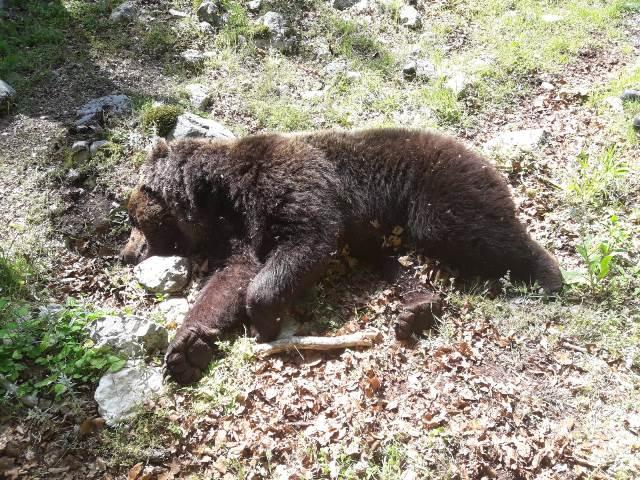 Lotta tra orsi maschi: trovato morto un esemplare