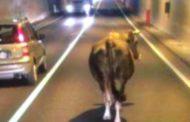 Mucche a passeggio sotto la galleria: panico in autostrada