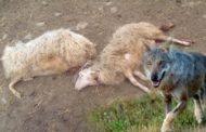 Lupi vicini alle case: raid in pieno giorno per sbranare pecore